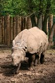 stock photo of wallow  - The Indian Rhinoceros or the Great One - JPG
