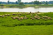 picture of feedlot  - flock of sheep on a river in Germany - JPG