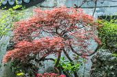 Red-leafed bonsai tree Yuyuan Garden created in the year 1559 by Pan Yunduan in shanghai china