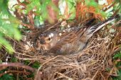 Small Common Linnet bird laying eggs in the nest