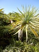 Spanish Dragon Tree