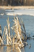 foto of bull rushes  - Cattails in a frozen pond in the late spring - JPG