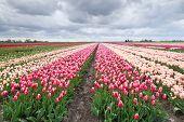 Dutch Colorful Tulip Fields