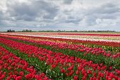 Colorful Spring Tulips Fields In Holland