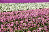 Background Of Many Hyacinthus On Dutch Spring Fields