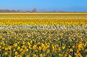 Many Yellow And White Narcissus On Dutch Fields