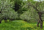 Blossoming Appletree Garden