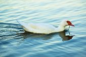 White duck swimming in blue water lake