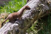 stock photo of ermine  - Stoat (Mustela erminea) standing on a log hunting for food