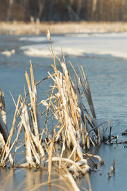 stock photo of bull rushes  - Cattails in a frozen pond in the late spring - JPG