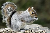 An adult Grey Squirrel(Sciurus carolinensis).