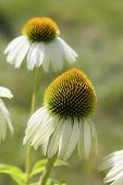 White cone flower (echinacea) in the summer garden.