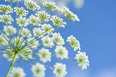 foto of elderflower  - umbel of white elderflowers against blue sky - JPG