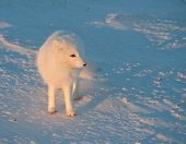 pic of arctic fox  - An arctic fox searches for food in the snow near Churchill Manitoba - JPG