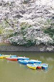 sakura view in chidorigafuchi park in japan tokyo