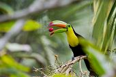 foto of toucan  - closeup of a keel billed toucan in the rainforest of Belize - JPG