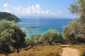 foto of olive trees  - Through an olive grove with herbs growing by the side of the path and the deep blue Aegean sea ahead - JPG