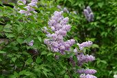 stock photo of lilac bush  - Delicate pink lilac flowers on the bushes - JPG
