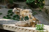 Two gray wolves in a zoo