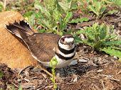 pic of killdeer  - killdeer with eggs - JPG