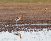 stock photo of marshes  - American Avocet standing in the marsh wetlands with reflection on the water - JPG