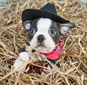 picture of baby cowboy  - Boston Terrier puppy wearing a cowboy hat sitting in a pile of straw - JPG