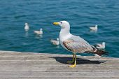 Seagull At A Wooden Pier In The Harbor Of Barcelona