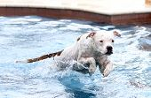 image of pitbull  - A white pitbull jumping into the swimming pool from the top step - JPG