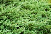 Background of green branches of thuja