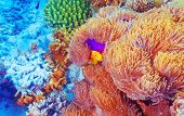 Clown fish swimming near colorful corals, abstract natural background, beautiful wildlife, wonderful