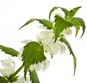 white dead-nettle flowering  (Lamium album) close up  isolated on white background