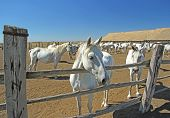 picture of lipizzaner  - Herd of Lipizzaner horses at the ranch - JPG