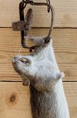 pic of dead mouse  - Dead rat in a trap on a wooden background - JPG