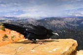 Raven Bryce Canyon
