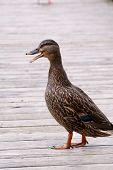 Mallard Duck Standing On Dock