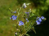 blue flowers of bird's eye wild plant