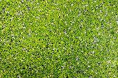Duckweed Natural