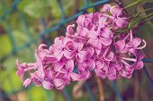 picture of lilac bush  - Selective on a flowering branch of a purple lilac bush - JPG