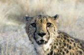 Otjitotongwe, Cheetah Lodge
