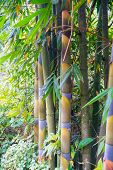 image of bamboo forest  - Bamboo in Green Forest Grove seem healthy - JPG