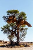 stock photo of african mask  - African masked weaver big nest on tree african landscape Kgalagadi Transfrontier Park Botswana true wildlife - JPG