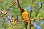 Yellow Weaver - African Wild Bird Background - Summer Gold