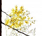 stock photo of vishu  - Blossom of the Golden Shower Tree isolated on white - JPG
