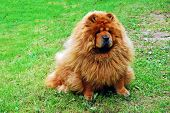 stock photo of chow-chow  - Red chow chow on a green grass - JPG