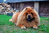 stock photo of chow  - Red chow chow dog on a green grass - JPG