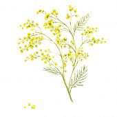 stock photo of mimosa  - Sprig of Mimosa - JPG