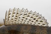 Dorsal fin of a walleye (pike-perch) close-up