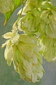 picture of bine  - The photo of ripe green hop cones taken closeup - JPG