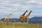 african giraffes walking on game reserve in south africa