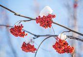 Rowan tree in the snow